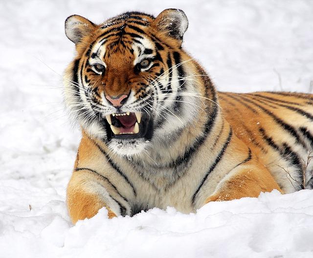 medicina naturale i denti di un animale carnivoro